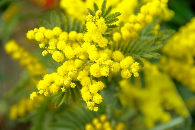 Die Pflanze Mimose