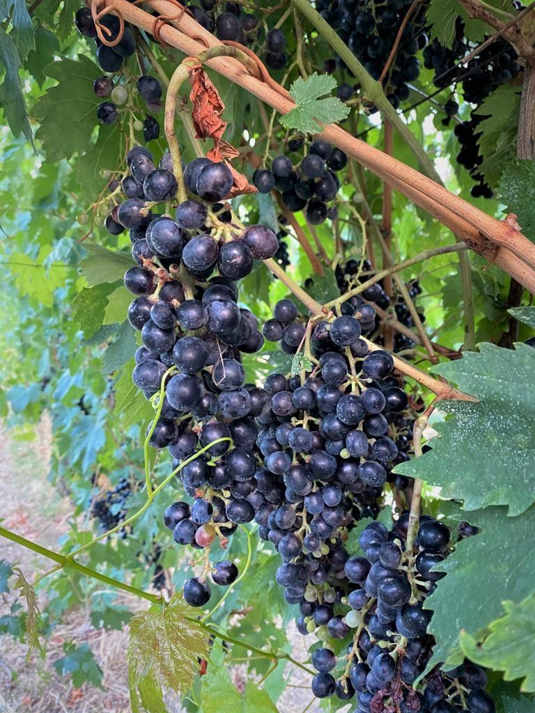 Weintrauben in der Provinz Ancona